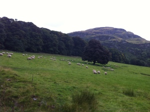 Sheep grazing on the way up to Dumyat summit.