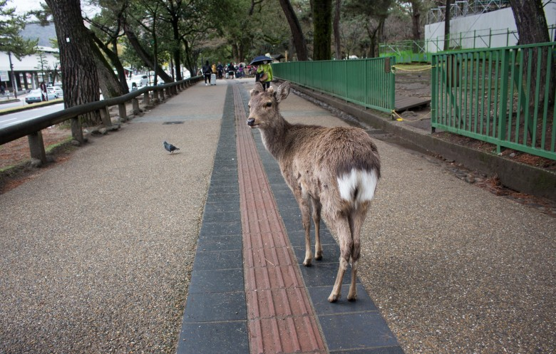 SP18102_Nara_Deer Walking the Streets of Nara Park_KaylaAmador