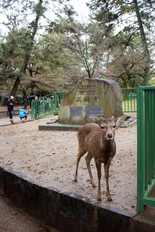 SP18104_Nara_Deer in Nara Park_KaylaAmador